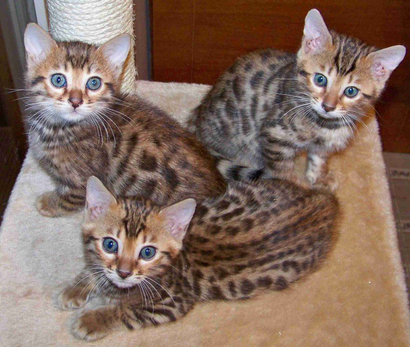 Donne Chaton Bengal Chat Leopard A Donner