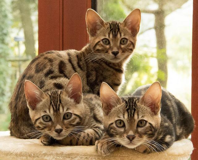 Adopter un chat de race