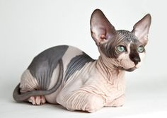 Eleveur Chat Sphynx Chat Bengal A Donner