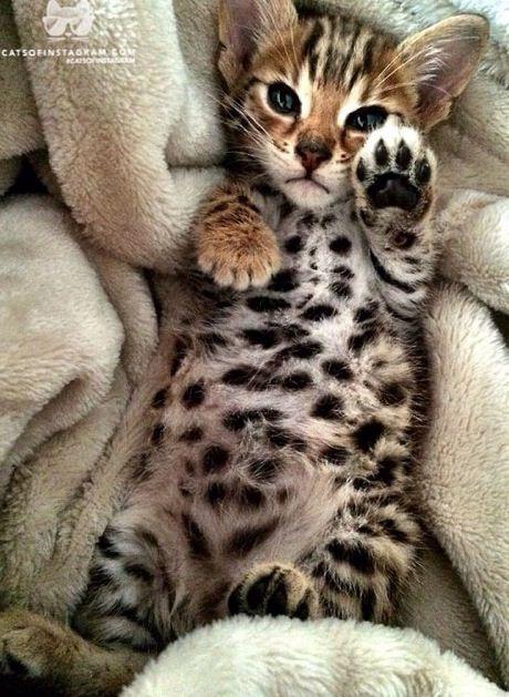 Bebe chat leopard
