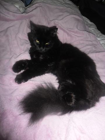 Chat noir poils longs