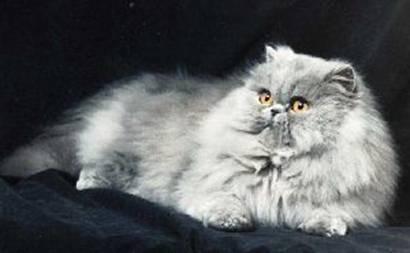 Chat persan gris bleu