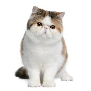 Acheter un chaton de race