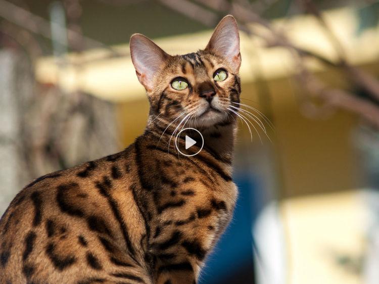 Un chat du bengal