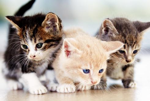 Vente de chat de race