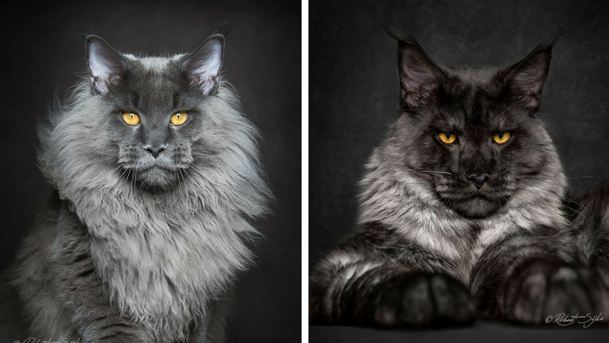 Photo de chat de race main coon race de chat en d