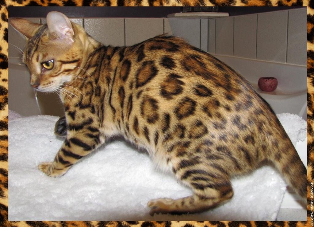 Chat Leopard Du Bengal Prix Chat Bengal A Vendre Belgique
