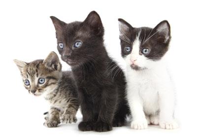 Race de chat appartement