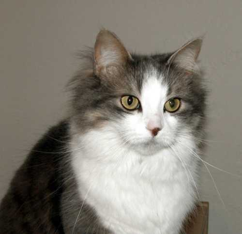 Chat blanc long poil
