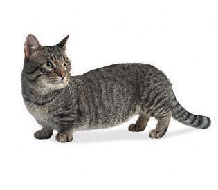 La race de chat la plus petite