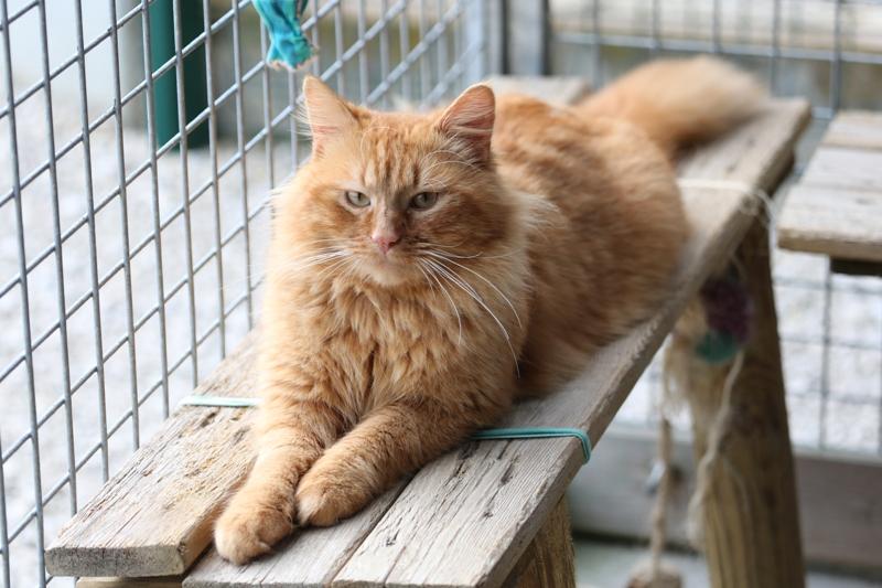 Chat roux poil long