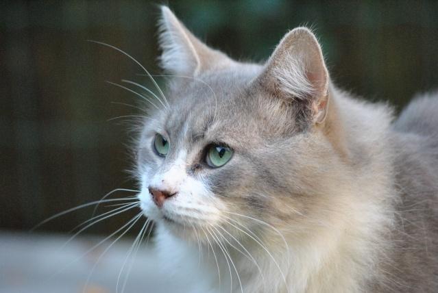 Chat gris et blanc poil long