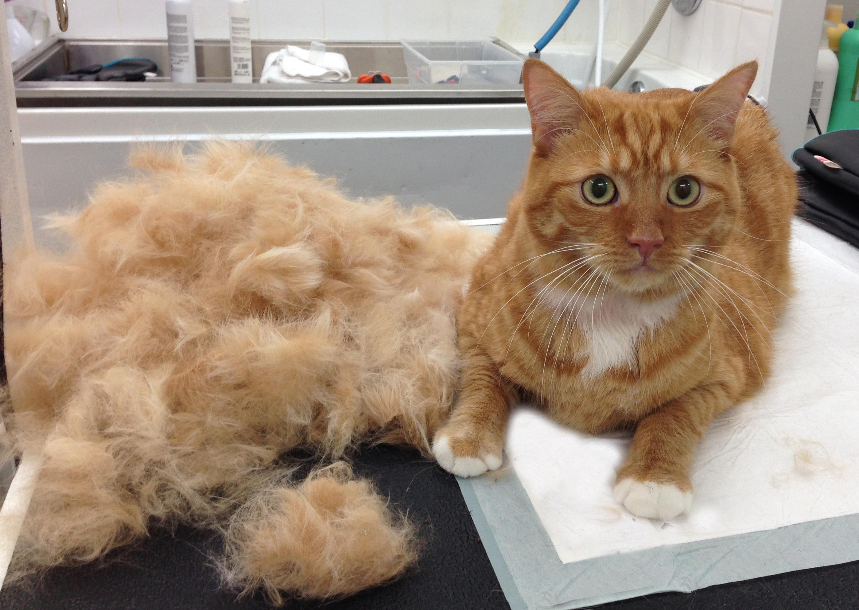 Chat noeud dans les poils