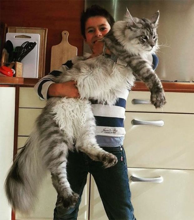 Gros chat race maine coon