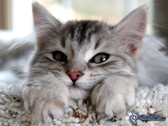 Chatons Donner Siamois Race