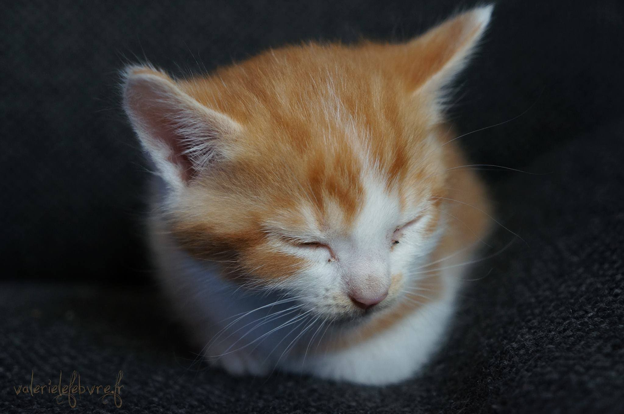 Chaton Roux A Donner