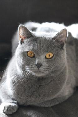 Chat gris race