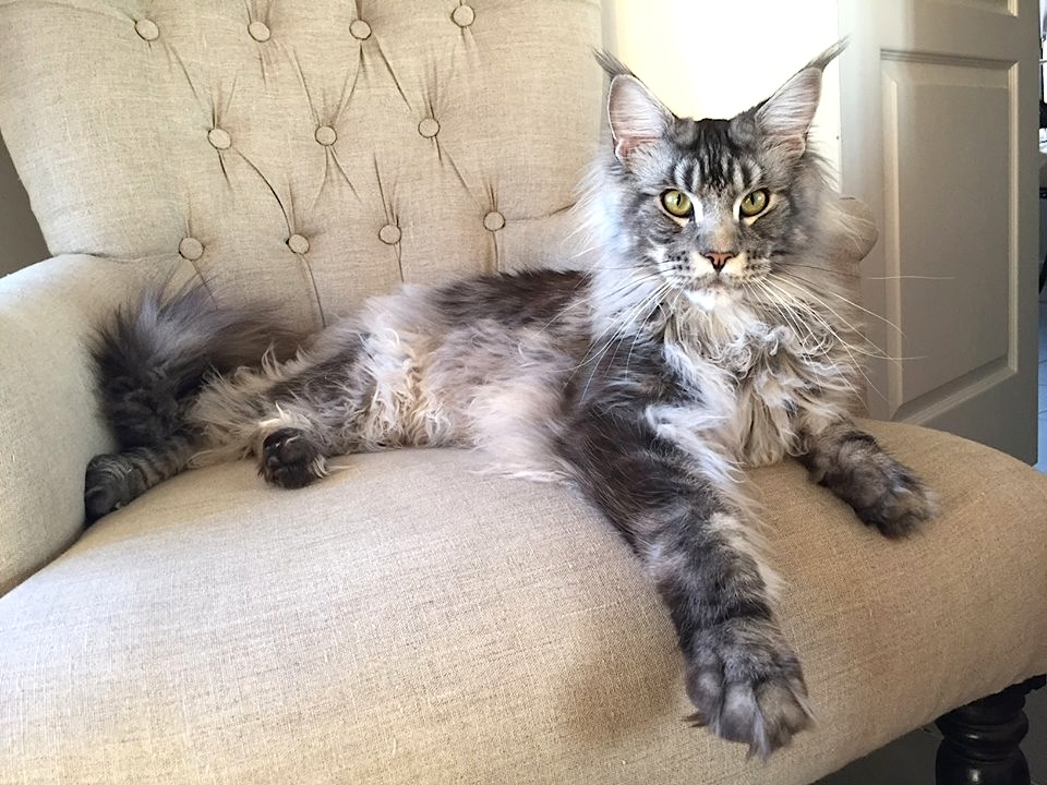 Chat coon race de grand chat maine coon