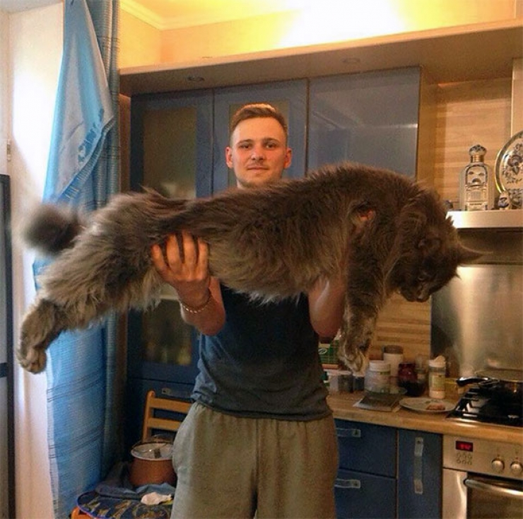 Tres gros chat