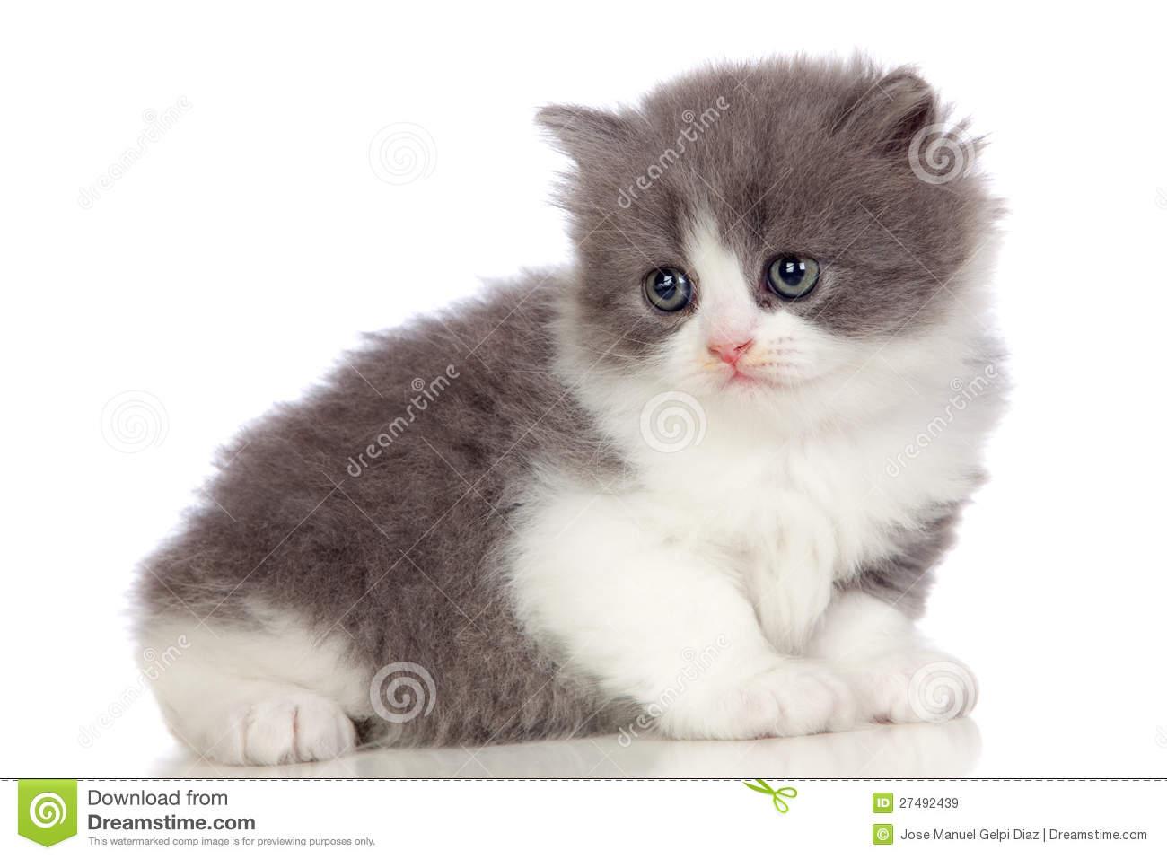 Chat angora gris