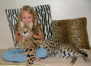 Serval chat domestique
