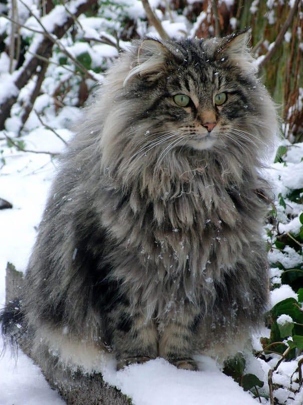 Plus gros chat du monde race