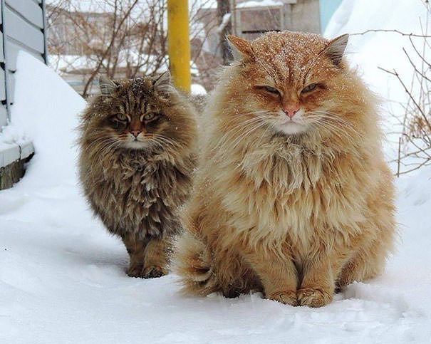 Le plus gros chat race