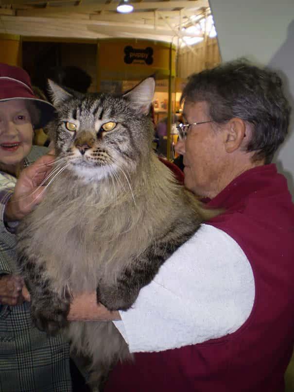 Gros chat domestique