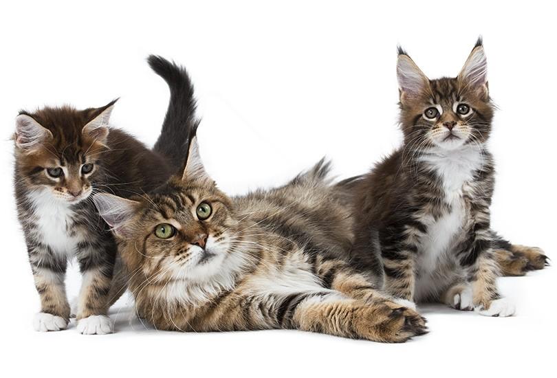 Race de chaton