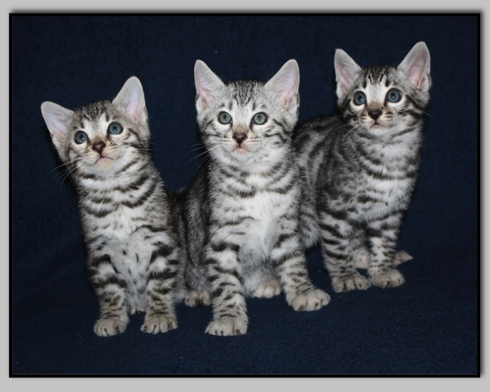 Anibis Chat Bengal vente chat photo chaton siamois |