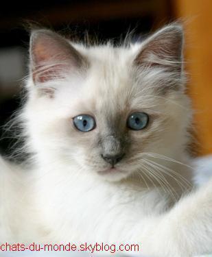 Chat blanc race