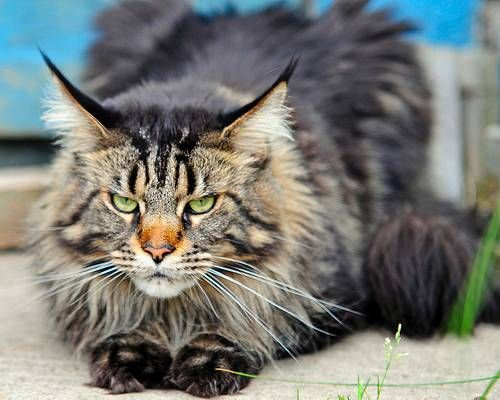 Race gros chat