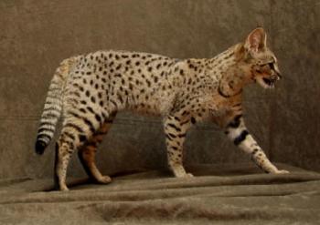 Grand chat domestique