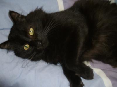 Chat noir poil long