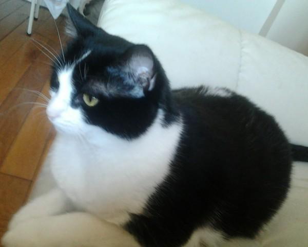 Race de chat noir et blanc race maine coon