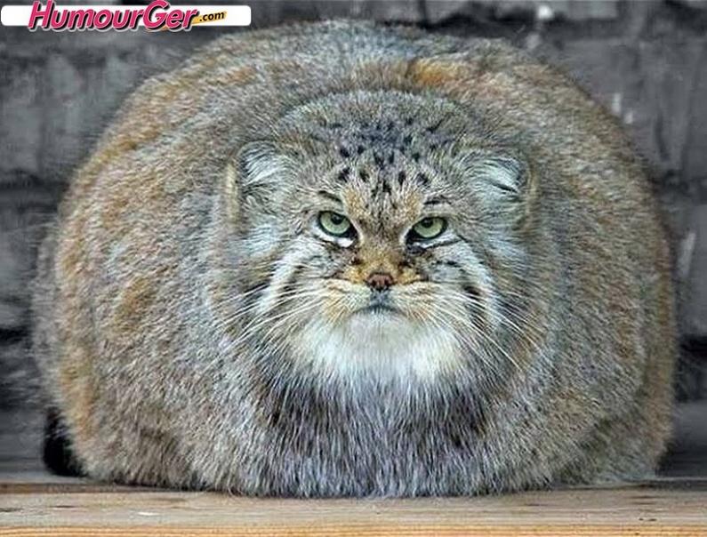 Race de chat gros