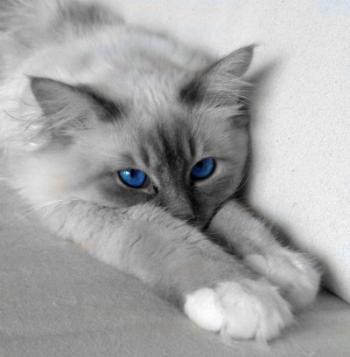 Chat gris yeux bleu