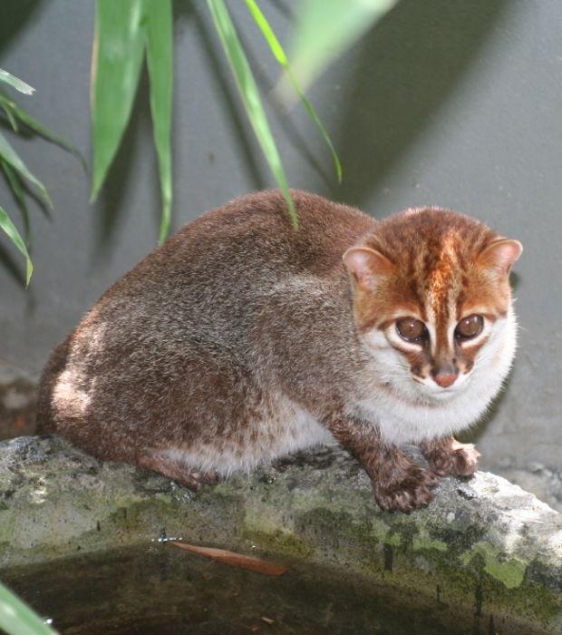 Chat asiatique