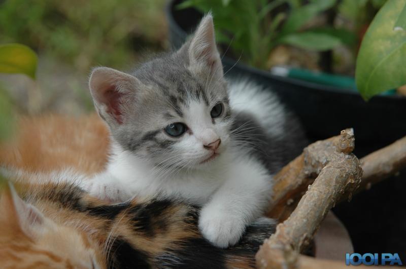 Chaton blanc gris chaton gris aux yeux bleus